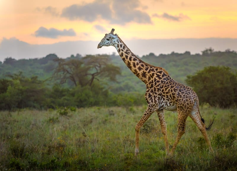 gyraffe in selous national park