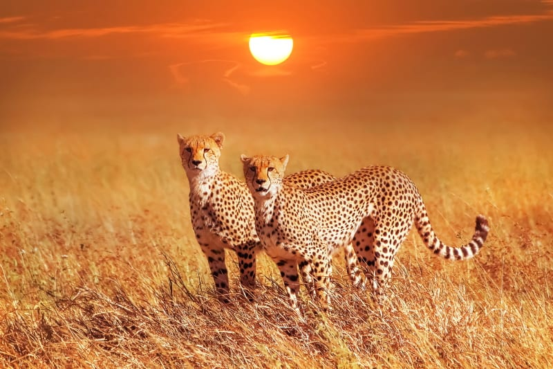 cheetah couple sunset africa safari wildlife