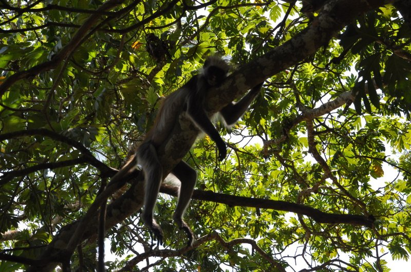 zanzibar jozani forest red colobus monkey (12)