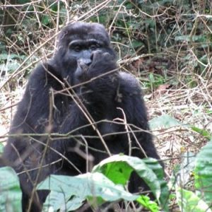 jadevine travel bwindi impenetrable forest gorilla trekking tracking (1)