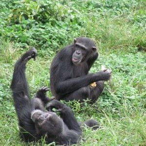 jadevine travel nagamba island chimpanzee trekking orphanage chimps safari (1)