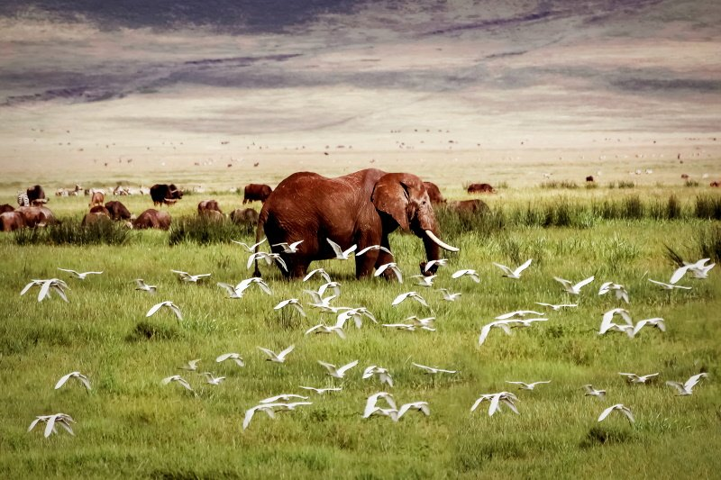 African elephant and birds in the Ngorongoro crater in the background of mountains.