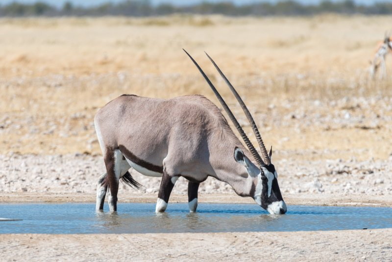 An oryx, also called gemsbok, Oryx gazella, drinking water at a waterhole in Northern Namibia