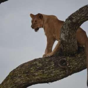 Climbing tree lion