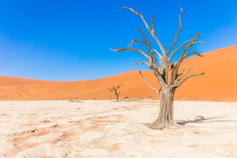 Dead camelthorn tree against dunes and blue sky in Deadvlei, Sossusvlei. Namib-Naukluft National Park, Namibia