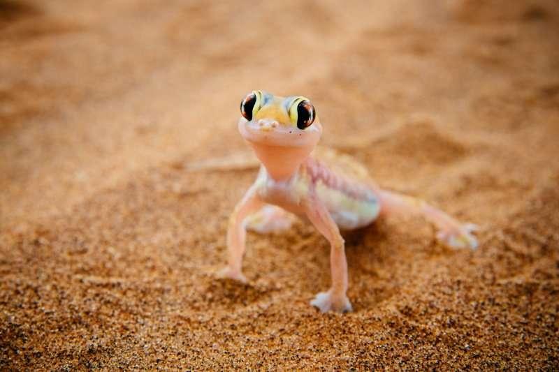Namib sand gecko - portrait, Swakopmund, Namibia