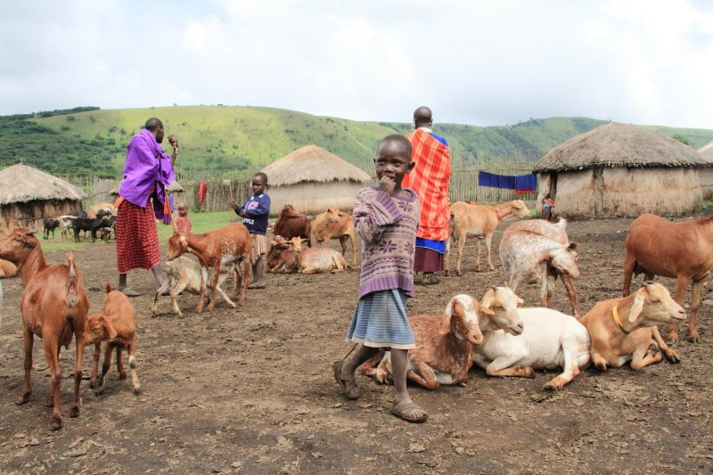 Ngorongoro Tanzania- March, 2016 Daily life of Masai people and their livestock in a village near Ngorongoro Crater