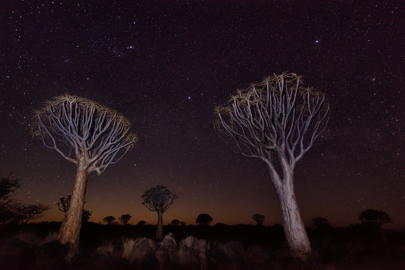 Quiver Tree Forest in Southern Namibia taken in January 2018