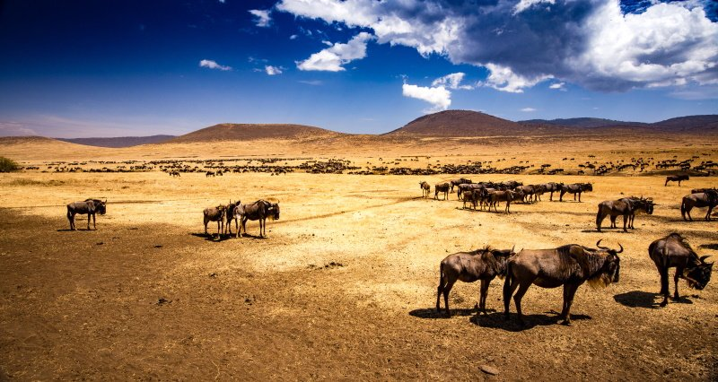 Wildebeests and Zebras in the Ngorongoro crater
