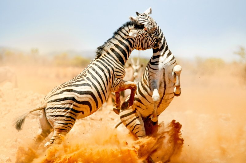 Zebras fighting in Etosha National Park