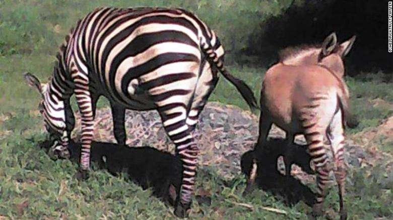 zonkey zebra donkey kenya 2020 africa safari wildlife rescue