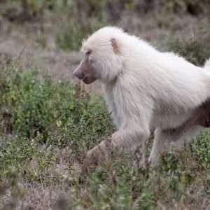 Rare_White_Baboon-leucism africa safari
