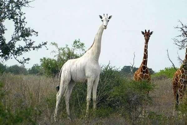 kenya white giraffe africa safari (1)
