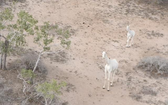 kenya white giraffe africa safari (5)