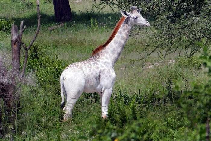 omo white giraffe tarangire national park tanzania africa safari (4)