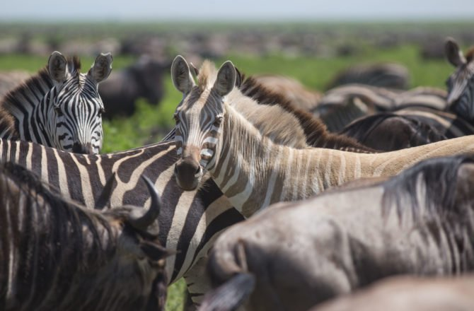 zebra leucism africa safari