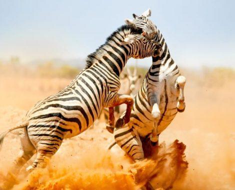 zebra fighting in masai mara national park, kenya